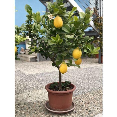 Piante di limoni di 12 anni con frutti in vaso Ø 35-40 foto reali