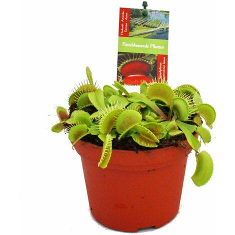 """main image of """"Piège à mouches Vénus - Dionaea muscipula - pot de 12cm"""""""