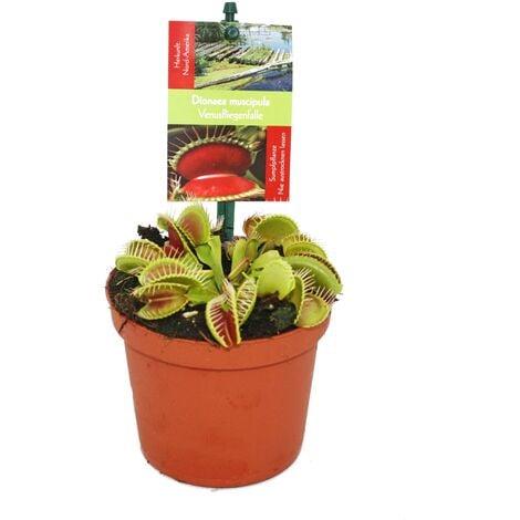 """main image of """"Piège à mouches Vénus - Dionaea muscipula - pot de 9cm"""""""