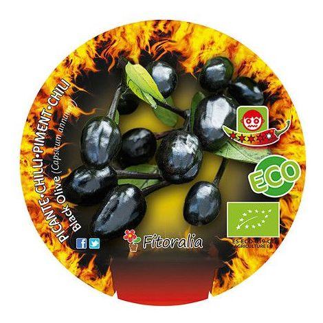 Pimiento pìcante Black olive - 1Ud. - Maceta de 10,5cm - ECO