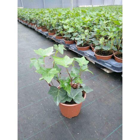 Pimiento picante Campanilla - Maceta de 10,5cm - ECO