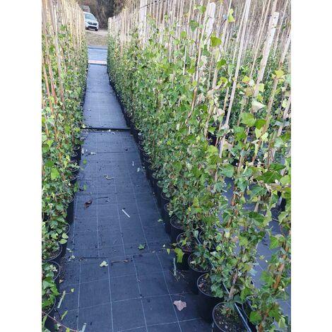 Pimiento picante Cherry bomb - Maceta de 10,5cm - ECO