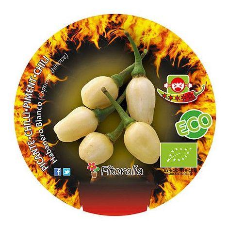 Pimiento picante Habanero Blanco - Maceta de 10,5cm - ECO