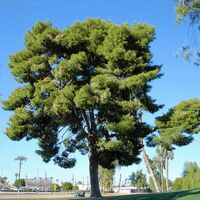 Pin d'Alep (Pinus Halepensis) - Godet - Taille 13/25cm