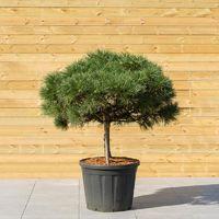 Pin Noir Nain - Pinus Nigra Brepo - Art-Garden
