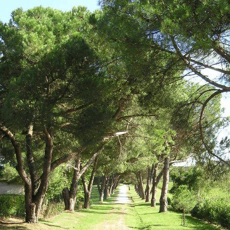 Pin Pignon - Pin Parasol (Pinus Pinea) - Godet - Taille 13/25cm