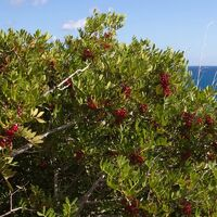 Pistachier Lentisque (Pistacia Lentiscus) - Godet - Taille 20/40cm