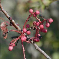 Pistachier Térébinthe (Pistacia Terebinthus) - Godet - Taille 20/40cm