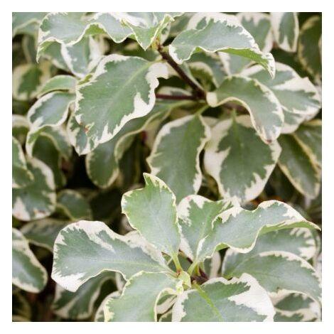 Pitosforo Silver Queen (Pittosporum Tenuifolium Silver Queen) vaso 18cm