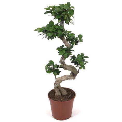Planta 110 Cm Bonsai Ficus Microcarpa Ginseng