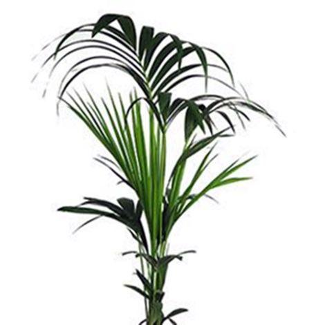 Planta 110 Cm Kentia, Palma del Paraíso Howea Forsteriana