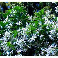 Planta 90 Cm de Jazmín Estrellado, Falso Jazmín, Trachelospermun Jasminoides