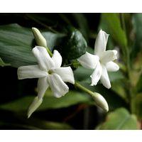 Planta 95 Cm de Jazmin Blanco Oloroso, Jazmin de Arabia, Jasminun Sambac