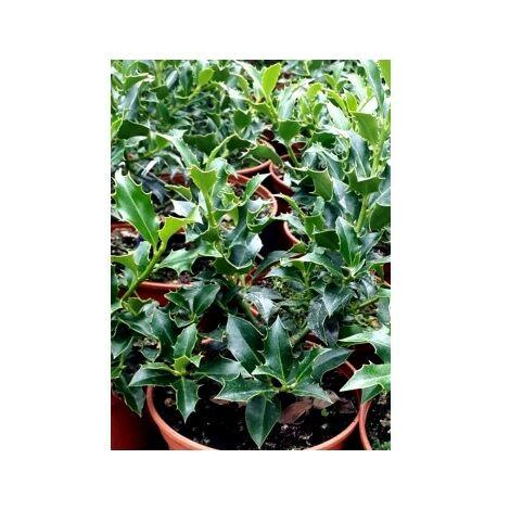 Planta Acebo Alaska. ILEX Aquifolium Alaska. 30-50 Cm
