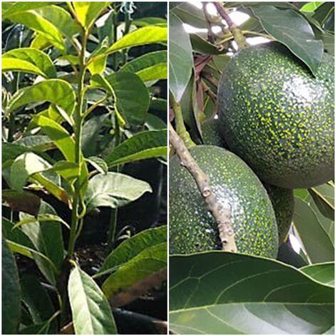 Planta Árbol Frutal Aguacate Reed. Frutos hasta 500 Gr
