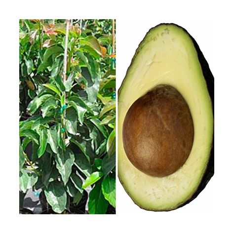 Planta Arbol Frutal de Aguacate Hass. 100 - 120 Cm