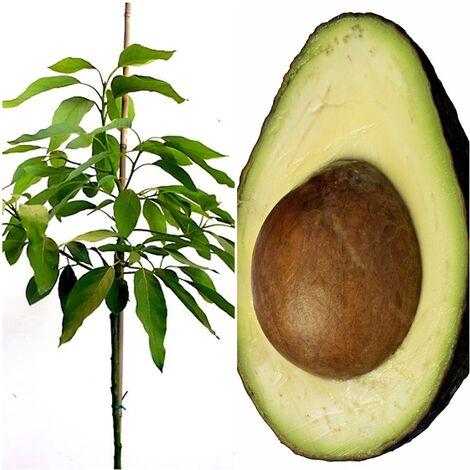 Planta Arbol Frutal de Aguacate Hass. 2 Años. 140 -150 Cm