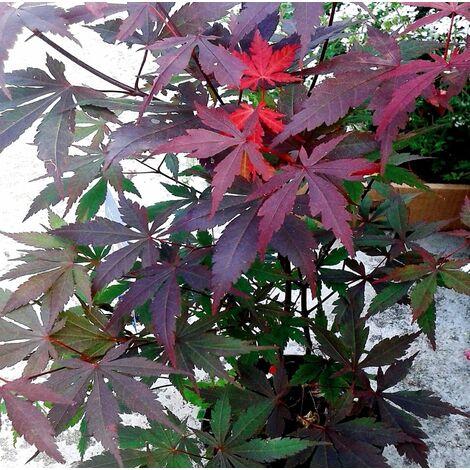 Planta Arce Japonés. ACER Palmatum Atropurpureum. Altura Árbol 20 - 30 Cm