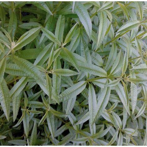 Planta Aromática Hierba Luisa Lippia. Altura Planta 15 - 25 Cm