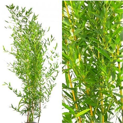 Planta Bambú de Exterior Phyllostachys Aureocaulis. 150 - 170 Cm