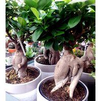 Planta Bonsai Ficus India , Ficus Ginseng. 30 - 40 Cm