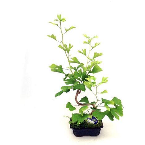 Planta Bonsai Ginkgo Biloba