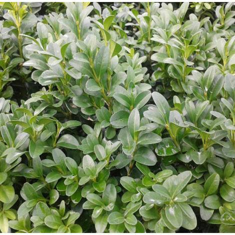 Planta. Buxo, BOJ, Buxus Sempervirens, para Borduras y Setos