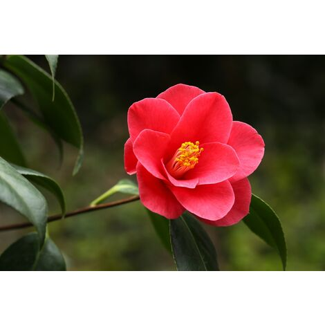 Planta Camelia Japonica Roja. 40-50 Cm