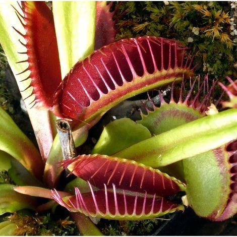 Planta Carnívora Dionaea. Atrapamoscas