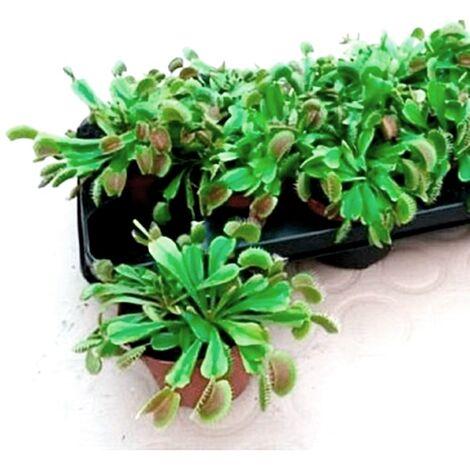 Planta Carnívora Dionaea. Atrapamoscas en Maceta M10,5