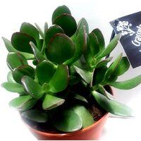 Planta Crasula Ovata O Arbol de Jade