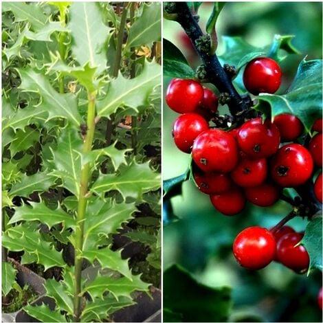 Planta de Acebo Acibro, ILEX Aquifolium. Planta de 25 - 30 Cm