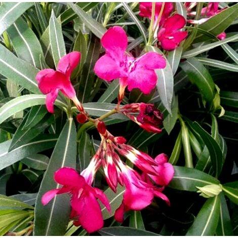 Planta de Adelfa Roja. Nerium Oleander. Altura 30 - 40 Cm