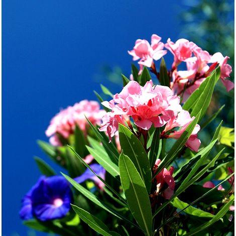 Planta de Adelfa Rosa Rellena. Nerium Oleander. 50 - 70 Cm