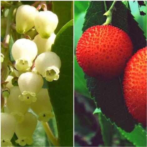 Planta de Arbutus Unedo – Madroño