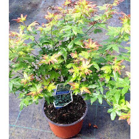 Planta de Arce Japones. Acer Palmatum Little Princess. 20 - 30 Cm
