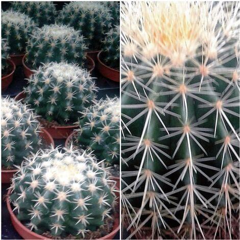 Planta de cactus echinocactus