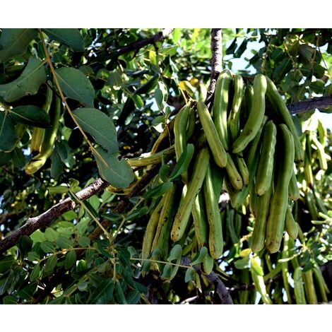 """main image of """"Planta de Ceratonia Siliqua – Algarrobo"""""""
