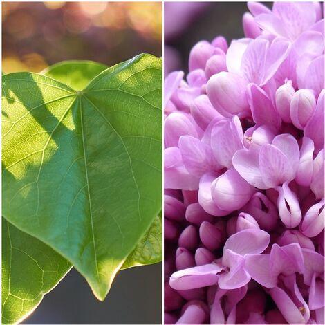 Planta de Cercis Siliquastrum Árbol del Amor. 30 - 40 Cm