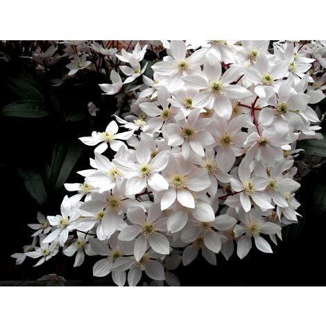 Planta de Clematis Blanca. Planta de 50 Cm.