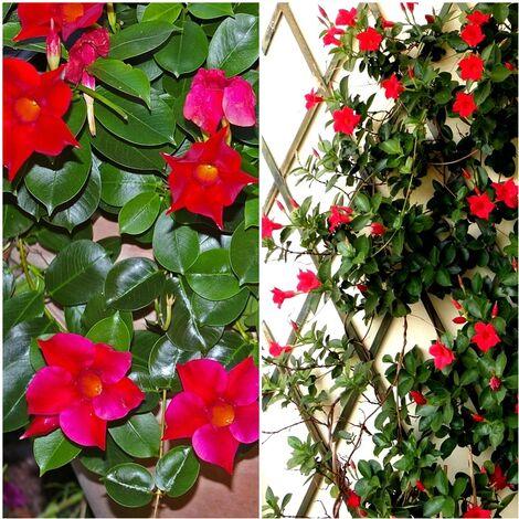 Planta de Dipladenia. Bonita Trepadora de Flores Rojas