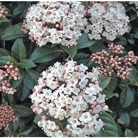 Planta de Durillo. Viburnum Tinus