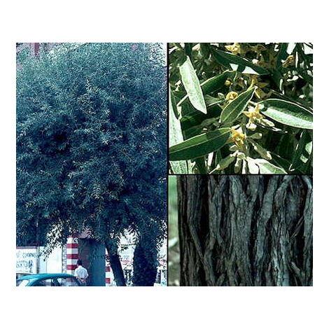 """main image of """"Planta de Elaeagnus Angustifolia - Árbol del Paraiso. Altura 30 - 40 Cm"""""""