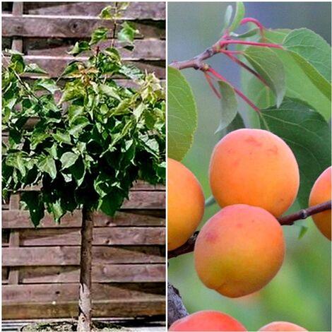 Planta de Frutal Albaricoquero Enano, Albaricoque. 2 Años y en producción de Fruta.