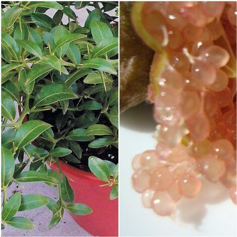 Planta de Frutal Caviar Cítrico, Microcitrus Australasica