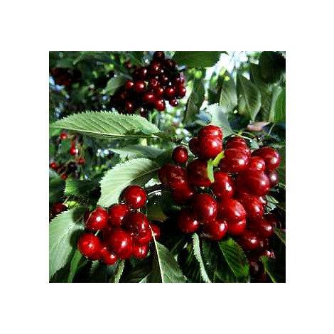 Planta de Frutal Cerezo Picota, Planta de 150 Cm