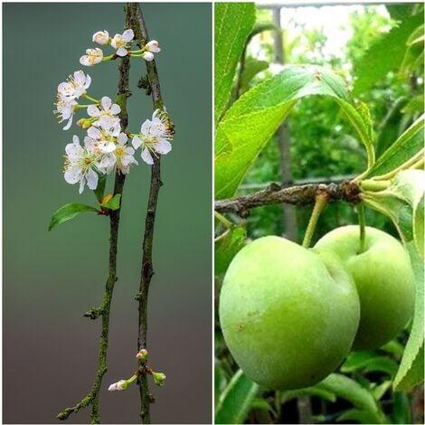Planta de Frutal Ciruelo Reina Claudia Verde. 80 - 100 Cm