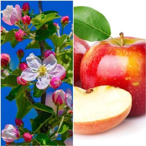 Planta del frutal manzano