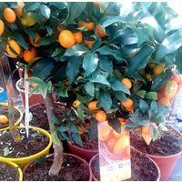 Planta de Frutal Naranjo Enano, Kumquat, Fortunella. Altura Árbol 40 Cm