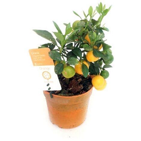 Planta de Frutal Naranjo Enano, Kumquat, Fortunella. en Maceta M12